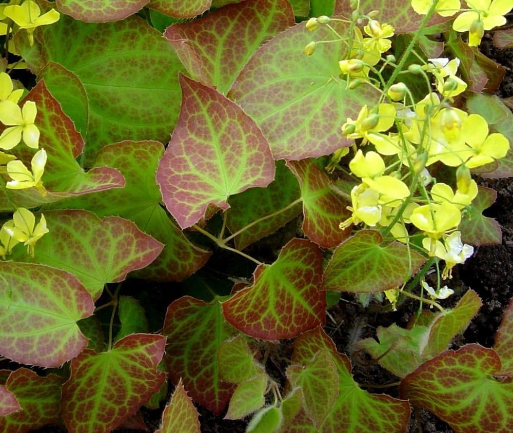 Icariin Comes From Epimedium Plant